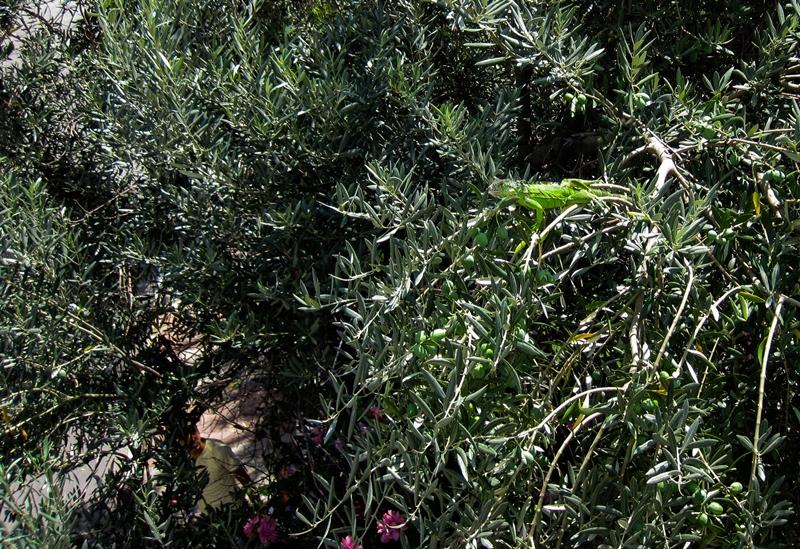 Ağaca çıkan iguanayı mahsur kaldığı yerden kurtardık - Haberler - İstanbul İtfaiyesi