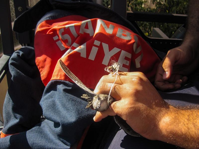 Ayağına ip dolanan yavru atmacayı kurtardık - Haberler - İstanbul İtfaiyesi